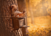 The Squirrel Sits On A Wooden Feeder On A Tree. Red-haired Forest Animal. Wild Nature. Rodent. Autumn Concept.