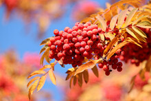 Rowan Berries Growing On A Tree Branches With Yellow Leaves On Blue Sky Background. Autumn Nature, Medicinal Berries Of Mountain-ash