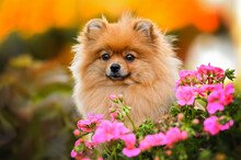 Red Pomeranian Spitz Dog Portrait With Pink Flowers Outdoors