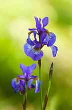 Shot Of The Japanese Iris (Iris Sanguinea) Under The Rays Of The Sun On A Blurred Background