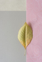 Yellow-green Autumn Leaf Isolated On A Silver Gray And Pink Scrapbooking Paper Background