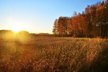 Big Field Of Ripe Heavy Ears Of Wheat Bending To The Ground In The Direct Rays Of The Sunset Between Birch Forests Groves With Autumn Yellowed Foliage