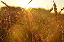 Ripe Heavy Ears Of Wheat Close Up Bending To The Ground In The Field In The Direct Rays Of The Sunset. Selective Focus, Bokeh Effect