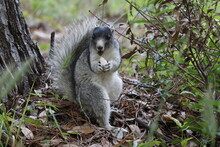 Southern Fox Squirrel Eating Mushroom