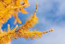 Autumn Yellow Branch Of Larch Tree Larix Decidua On Background Of Blue Sky With Clouds. Close-up, Soft And Selective Focus On Foreground.