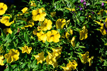 Large Group Of Vivid Yellow Petunia Axillaris Flowers And Green Leaves In A Garden Pot In A Sunny Summer Day.