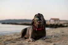Dog, Puppy, Animal, Pet, Mastiff, Brown, Canine, Purebred, Bulldog, Mammal, Breed, Sharpei, Dogue De Bordeaux,
