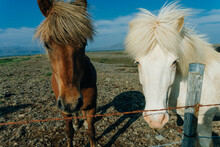 Icelandic Horses In The Field Of Scenic Nature Landscape Of Iceland