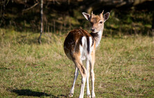 Close Up Photo Of Fallow Deer. Young Deer Eating Dry Grass On A Field. Animals In Wild. Fauna Of Europe.
