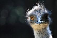 Close Up Of An Emu Head. Wildlife Photo.