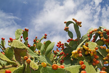 Opuntia Ficus-indica, Prickly Pear, Against A Blue Sky With White Clouds