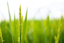 Fresh Green Rice Fields In The Fields Are Growing Their Grains On The Leaves With Dew Drops