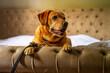 Pies labrador leży na kanapie, głowa zwrócona w bok od kamery.