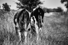 Grayscale Of Two Cows From The Back.