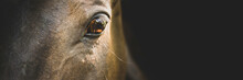 Horse Portrait Close Up, Detail. Horse Head On A Black Background, Banner. Calm, Relaxed