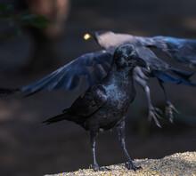 A Black Bird Crow On A Wall