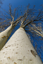 Two Winter Poplar Trees Together Viewed From Below With Sky Background