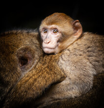 Closeup Shot Of A Young  Barbary Macaque (Macaca Sylvanus) Hitching A Ride On His Mother's Back