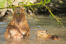 A Mother Capybara Eats A Leaf On A Bamboo Stalk. The Capybara Is The Largest Living Rodent And Is Native To South America. It's A Member Of The Genus Hydrochoerus.