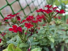 Closeup Shot Of Homestead Red Verbena Flowers Growing