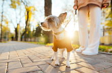 Closeup Portrait Of A Cute Small Yorkshire Terrier In Front Of The Sunlight, Walking With Her Owner, Who's On The Background. Sunny Autumn Day.