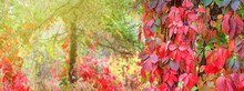 Autumn Landscape, Banner With Blurred Background - A View Of The Foliage Of The Virgin Ivy Climbing The Tree Trunks In The Rays Of The Autumn Sun