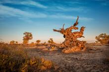 Turanga, Relic Tree Of Kazakhstan Nature