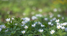 Large Group Of Anemone White Flowers In Green Grass