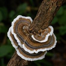 Beautiful Closeup Shot Of The Turkey Tail Fungus Tiered Layers On Hardwood; Trametes Versicolor