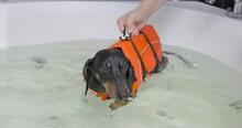 Trainer Holds Dachshund Puppy Conducting Rehab Bathing