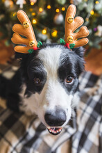 Funny Portrait Of Cute Puppy Dog Border Collie Wearing Christmas Costume Deer Horns Hat Near Christmas Tree At Home Indoors Background. Preparation For Holiday. Happy Merry Christmas Concept.