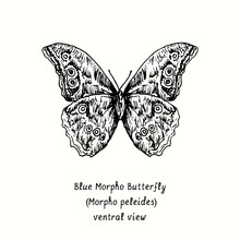 Blue Morpho Butterfly (Morpho Peleides) Ventral View. Ink Black And White Doodle Drawing In Woodcut Style.