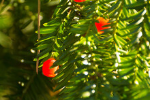 Red Fruits Of Pacific Yew Among Green Leaves