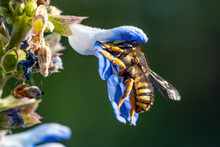 Bees Fly Into Flowers For Pollination. Macro Shots.