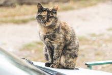 Cat On The Hood Of A Car, Autumn Day