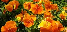 Orange Flowers Viola Wittrockiana Or Viola Tricolor Bloom In The Meadow. Panorama.