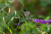 Female Dusky Sunbird Drinking Nectar From Sits On A Twig.