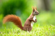 Eichhörnchen Am Boden