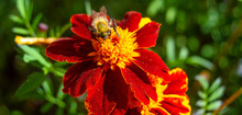 Close-up Of A Bee On A Marigold On A Blurred Background