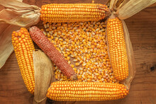 Corncobs And Grain On Rustic Wooden Background, Top View Of Harvested Maize Crops