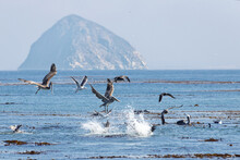 Closeup Shot Of Pelicans Flying And Swimming In Morro Bay, Cayucos, CA
