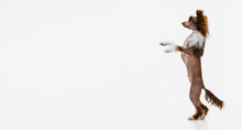 One Beautiful Pedigree Dog, Chinese Crested Dog Stands On Its Hind Legs Isolated Over White Studio Background.