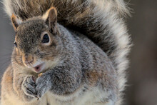Eastern Gray Squirrel - Sciurus Carolinensis, Sitting In The Warmth Of A Winter Sunrise. Making Eye Contact. Open Mouth As If Smiling