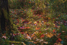 View Of The Autumn Forest And Meadow On A Sunny Day. Red And Yellow Leaves Lie In The Green Grass Next To The Trunk Of A Tree Covered With Moss On An Autumn Sunny Day.