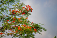 Caesalpinia Pulcherrima Peacock Flower Tree