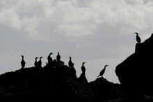 Silhouettes De Cormorans Sur Les Rochers Pris à Contre-jour,