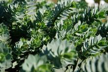 Closeup Shot Of Hebe Albicans Green Shrub Growing In The Garden Under The Sunlight