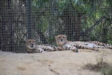 Guepardos ,felinos En Pareja Descansando