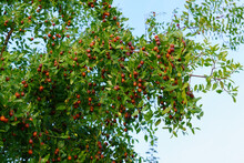 Chinese Date On A Background Of Green Leaves. Ripening Jujube Green Fruits In Leaves Of Tree