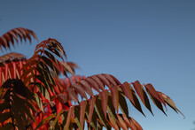 Sumac Tree With Bright Cattle Leaves In Autumn Against The Background Of Blue Sky.